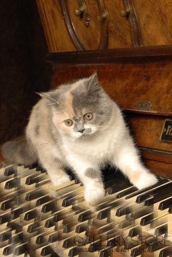 Pawel Sonnenburg-Mały kotek chodzący po klawiszach pianina-Fotografia